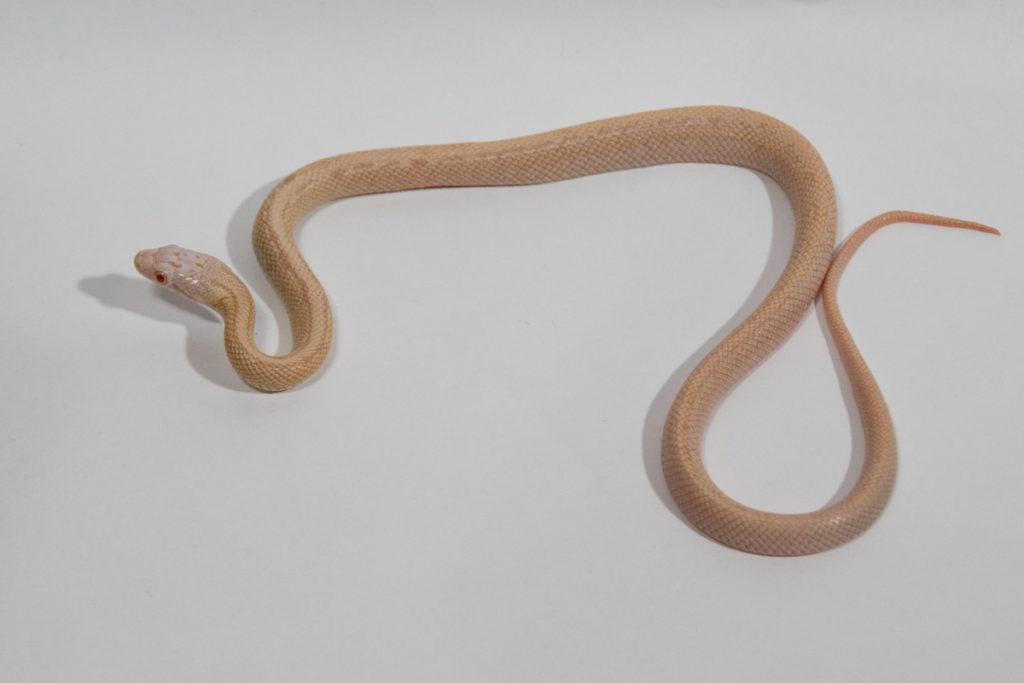 ブラックラットスネーク アルビノブロッチレス