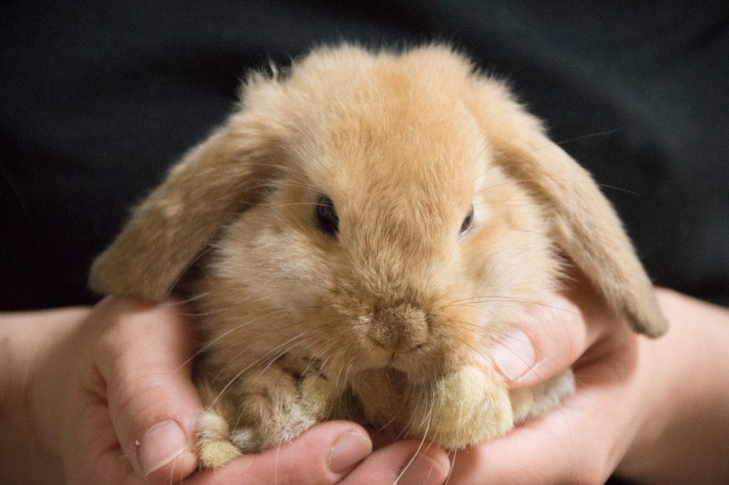 ウサギ ホーランドロップ