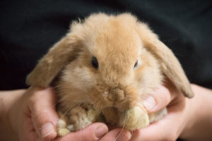 ホーランドロップ ウサギ