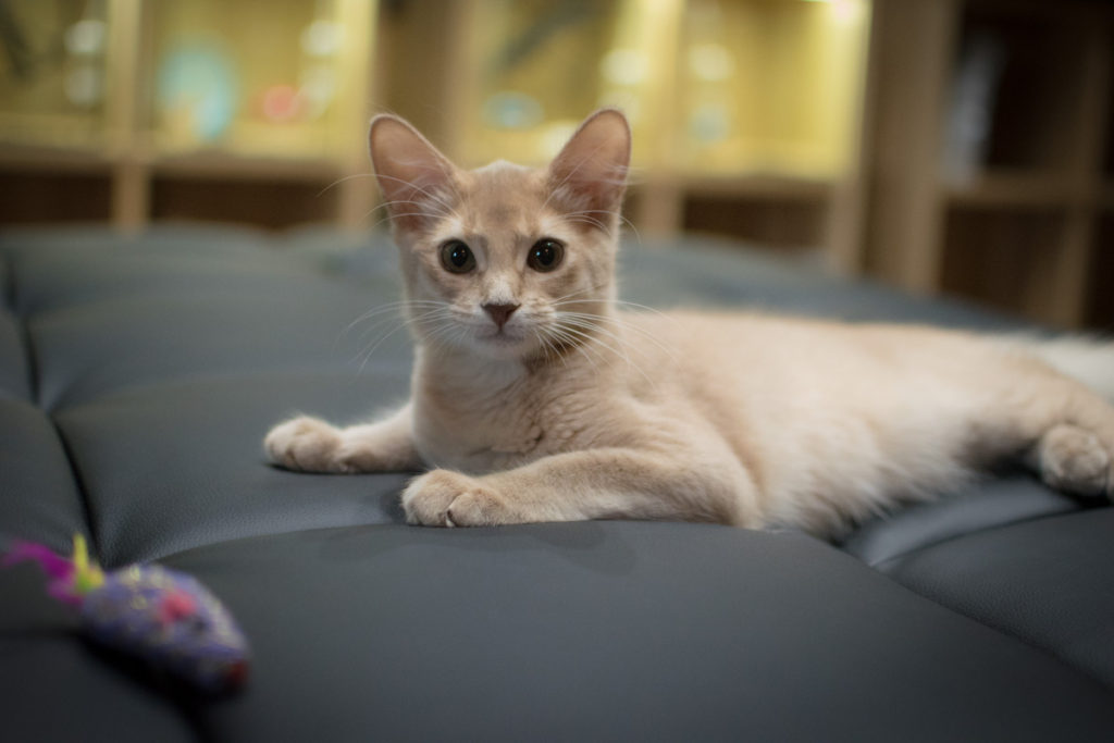 猫 ソマリ