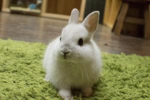 ネザーランドドワーフウサギ