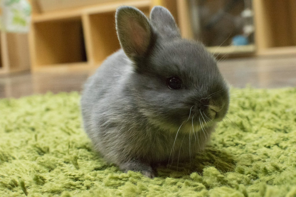 ネザーランドドワーフウサギ ブルー