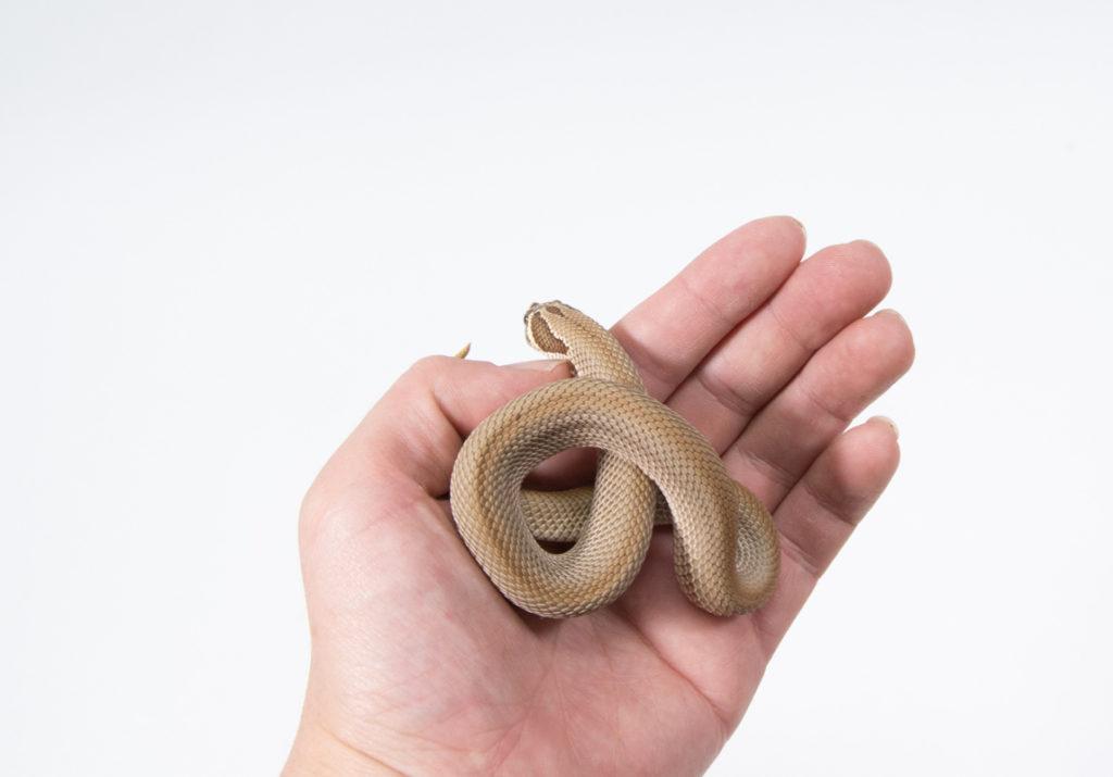 シシバナヘビ-スーパーコンダ