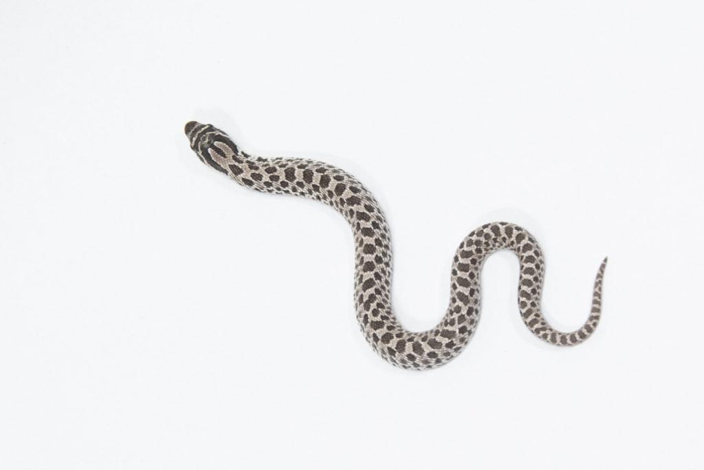 シシバナヘビ アザンティック