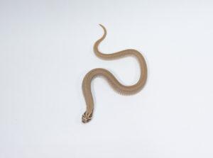 シシバナヘビ スーパーコンダ