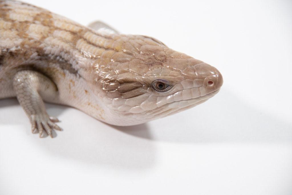 キタアオジタトカゲ キャラメル 頭