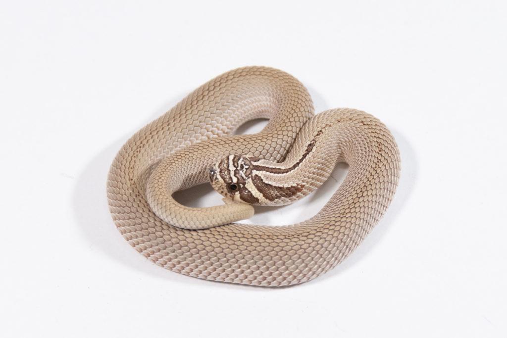 シシバナヘビ アークティックスーパーコンダ